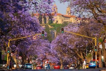 Jacaranda trees, Pretoria is known as the Jacaranda City, Tshwane, Gauteng