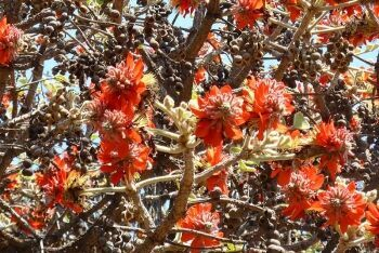 Broad-leaved Coral Tree in eastern Pretoria, Tshwane, Gauteng
